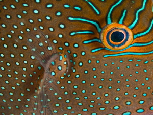 Canthigaster papua (detail) by Alex Varani 